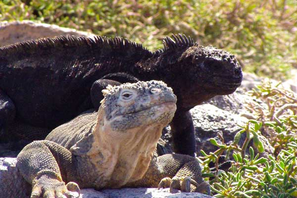 Marine and land Iguanas